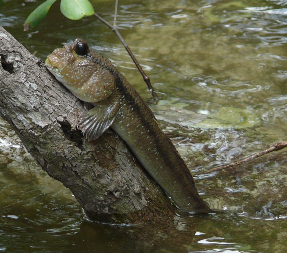 20090228-giant_mudskipper-scaled-10001